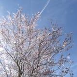 Våren blommar med blå bakgrund Royaltyfria Foton