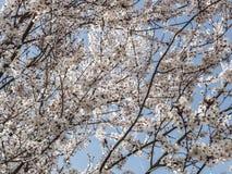 Våren blommar med blå bakgrund Arkivbild