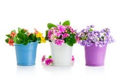 Våren blommar med gröna sidor i hink Royaltyfri Foto