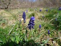 Våren blommar muscary Fotografering för Bildbyråer