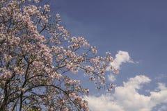 Våren blommar på träd mot blå himmel Royaltyfri Fotografi