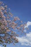 Våren blommar på träd mot blå himmel Royaltyfri Bild