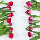Våren blommar på vit bakgrund, nya tulpan Fotografering för Bildbyråer