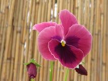 Våren blommar Pansies på bambubakgrund Arkivbild
