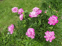Våren blommar pionen Royaltyfria Foton