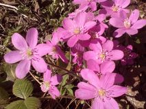 Våren blommar rött Fotografering för Bildbyråer
