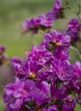 Våren blommar rhododendron av det västra Sibirienet Arkivbild