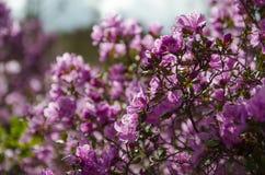 Våren blommar rhododendron av det västra Sibirienet Arkivbilder