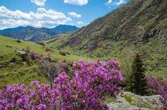 Våren blommar rhododendron av det västra Sibirienet Arkivfoto