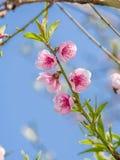 Våren blommar serien, att blomstra för persika Royaltyfria Bilder