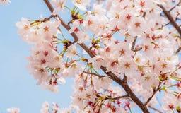 Våren blommar serien, Cherry Blossom i det Tongji universitetet Royaltyfria Bilder