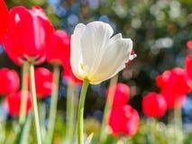 Våren blommar serien, den vita tulpan bland röda tulpan i fält Fotografering för Bildbyråer