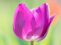 Våren blommar serien, enkel purpurfärgad tulpan Arkivbild