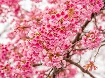Våren blommar serien, härlig körsbärsröd blomning Royaltyfri Foto