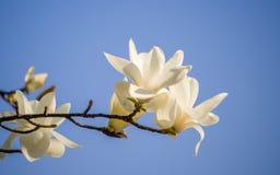 Våren blommar serien, magnoliaträdblomning Arkivbilder