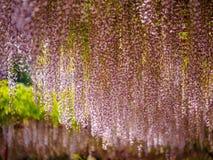 Våren blommar serien, purpurfärgad Wisteria Royaltyfri Bild