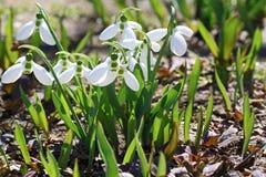 Våren blommar snödroppar, Galanthus nivalis Royaltyfria Bilder