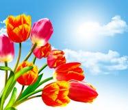 Våren blommar tulpan Arkivfoton