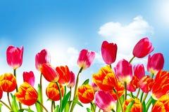 Våren blommar tulpan Fotografering för Bildbyråer
