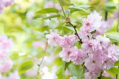 Våren för blomman för den körsbärsröda blomningen är den blommande det kommande begreppet för bakgrunder för vårsäsongen Royaltyfri Foto