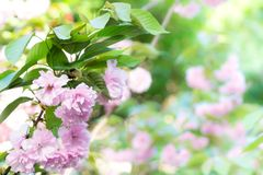 Våren för blomman för den körsbärsröda blomningen är den blommande det kommande begreppet för bakgrunder för vårsäsongen Arkivbilder