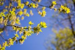 Våren har kommit, den första gräsplanen Naturen vaknar upp Upplösa de första sidorna på filialerna Grönt hus på fönsterbrädan var royaltyfria foton