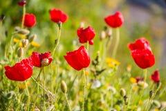 Våren kommer med de första vallmo royaltyfri foto