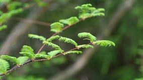 Våren lämnar på filialspets av det Dawn Redwood trädet i mild vind, 4K lager videofilmer