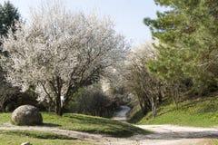 Våren parkerar, trädet för den körsbärsröda blomningen, bana, sörjer filialer Arkivbilder
