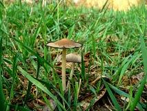 Våren plocka svamp i gräset Arkivfoton