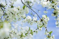 Våren solen, blå himmel, blommade trädet Royaltyfri Bild