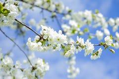 Våren solen, blå himmel, blommade trädet Arkivfoton