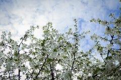 Våren solen, blå himmel, blommade trädet Royaltyfri Fotografi