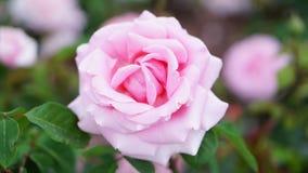 Våren steg blommor i trädgården arkivfoton