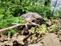 Våren turnerar av sköldpaddaspänning arkivfoton