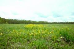 Vårfältet i kan med gula blommor royaltyfri fotografi