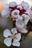 Vårfärger för körsbärsröda blomningar Royaltyfria Foton