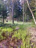 Vårfärger i lettisk skog Fotografering för Bildbyråer