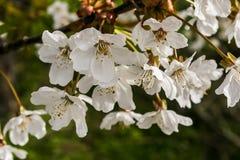 Vårfilialer av det körsbärsröda trädet med vita blommor arkivfoto