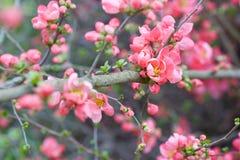 Vårfilialer med rosa färgblomningen arkivfoto