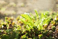 Vårfilialer under regnfärgstänk med, små gröna sidor, selektiv fokus, bokeh, sovjetisk linsHelios 44-2 arkivbild