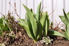 Vårforsar av tulpan Arkivfoto