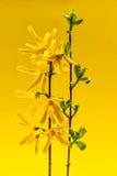Vårforsythia blommar på gul bakgrund Royaltyfri Bild