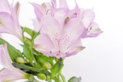 Vårfreesia blommar på vit bakgrund fotografering för bildbyråer
