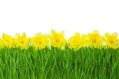 Vårgräns-/gulingpåskliljor och grönt gräs som isoleras på whi Royaltyfria Foton