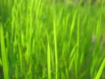 Vårgräs Arkivbilder