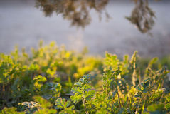 Vårgräs i inställningssolen Royaltyfri Fotografi