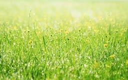Vårgräs som täckas med morgondagg Arkivbild