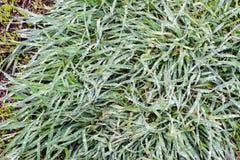 Vårgräs täckas med överflödande regndroppar Grönt gräs, efter regn har varit närbilden Bakgrund textur för grönt gräs arkivbilder