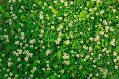 Vårgräsmatta som prickas med vit växt av släktet Trifolium Royaltyfria Bilder